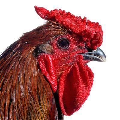 Het dubbelportret van de Mechelse Koekoek en de Poulet de Bresse maakt deel uit van een groots kweekproject 'The Cosmopolitan Chicken'. Sinds 2000 kruist Koen Vanmechelen Belgische kippen met soortgenoten uit andere...