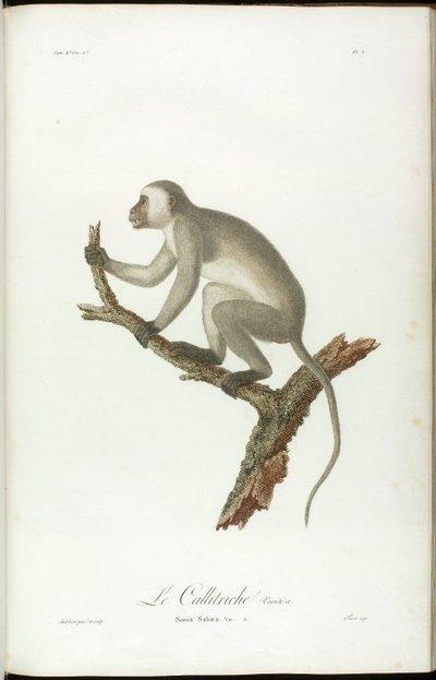 Histoire Naturelle des Singes et des Makis, 1800