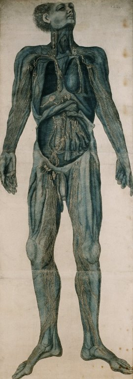 Male cadaver showing the lymphatic system
