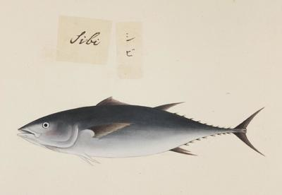 Image from object titled Inaccurate picture of Thunnus obesus