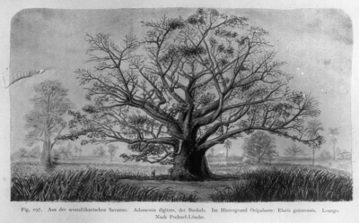 Image from object titled Plantegeografie. Hanna Resvoll-Holmsen 23/3 22.Fig. 197. Adansonia digitata (Brødfrugt?)