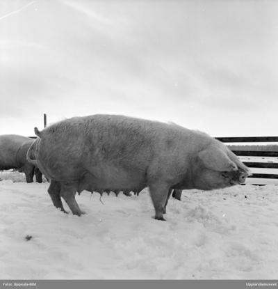 Pharmacia - svin i inhägnad, sannolikt Uppsala, februari 1962