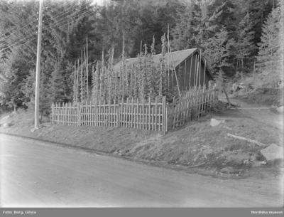 Image from object titled Värmland. Älvdals hd. N. Ny sn. Ö. Värnäs. Jonas Nordkvist. Humlegård. Foto G. Berg 1928. Etnologiska undersökningarna NORDISKA MUSEET  1001.  Sp. 98 Pors och humle för brygd.