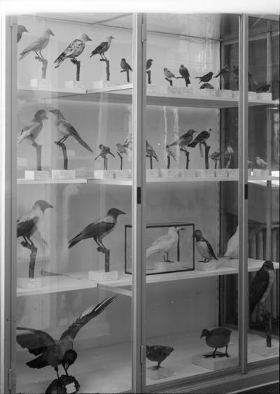Fågelmonter, Zoologiska institutionen, Uppsala 1917