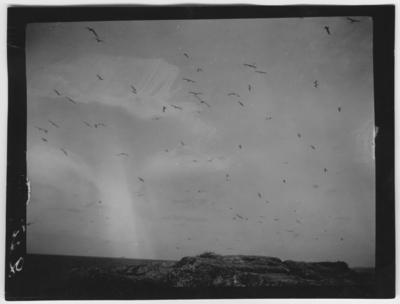 Bildtext: Fågelliv över häckplatsen. Fågelmoln.