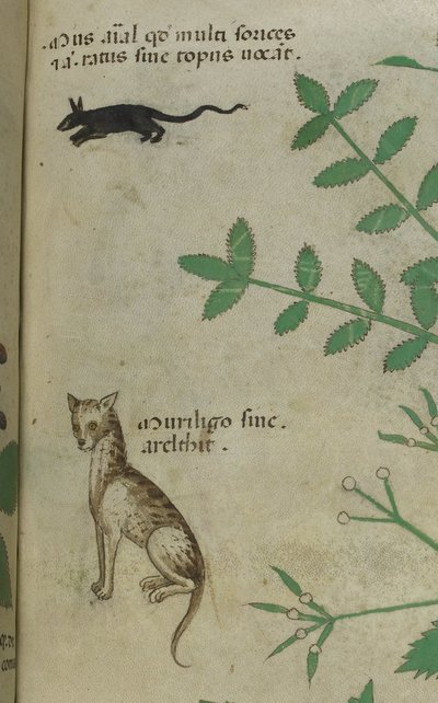 Image from object titled Rat and cat from BL Sloane 4016, f. 62