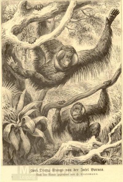 Zwei Orang-Utangs von der Insel Borneo; Grafik