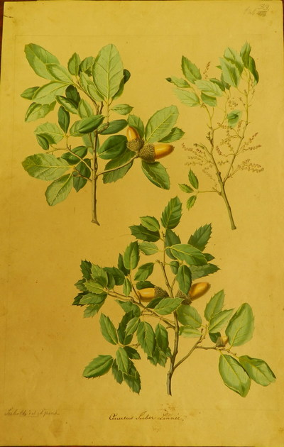 Image from object titled Cork oak (Quercus suber) illustrations of Kotschy Theodor's beequest