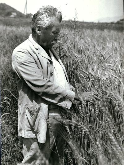 Móricz Zsigmond a búzában