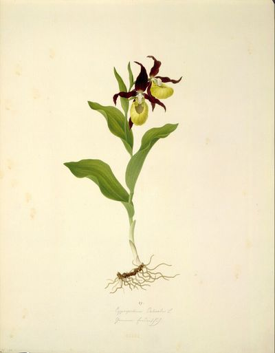 Image from object titled Cypripedium Calceolus L - Gelber Frauenschuh