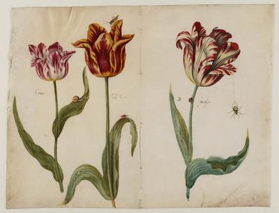 3 tulpen met insekten