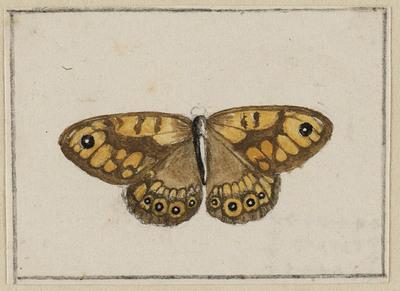 Argusvlinder