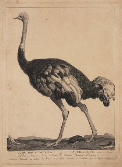 Structhio Camelus