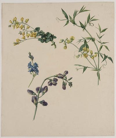 Vier verschilldende bloesems. Lathyrus en Scilla
