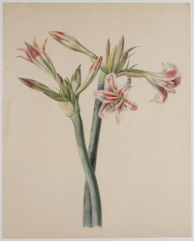 Roze-witte Hippeastrum (Amaryllis)