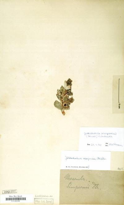 Juttadinteria simpsonii (Dinter) Schwantes