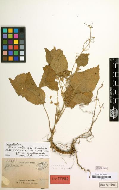 Ornithoboea lacei Craib