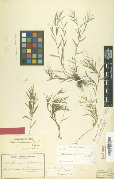 Panicum wrightianum Scribn.