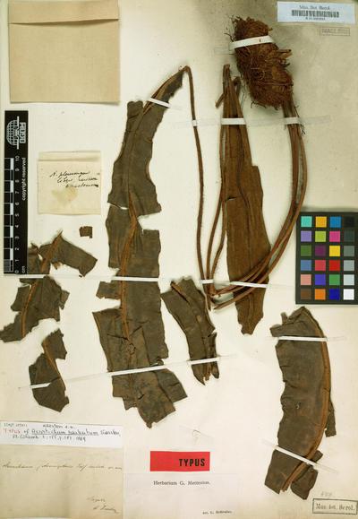 Elaphoglossum barbatum (H.Karst.) Hieron.