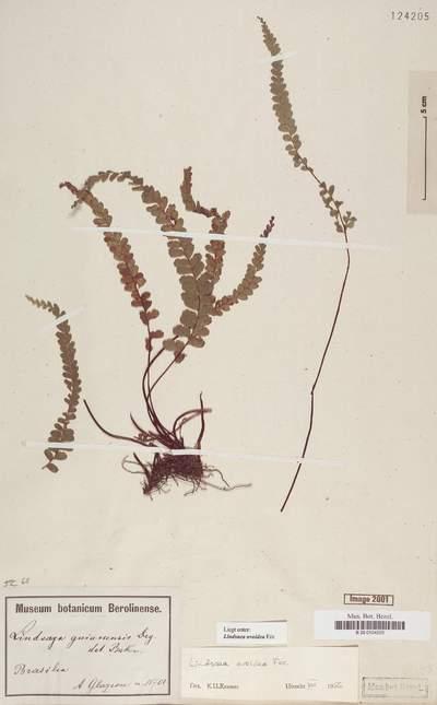 Lindsaea ovoidea Fée
