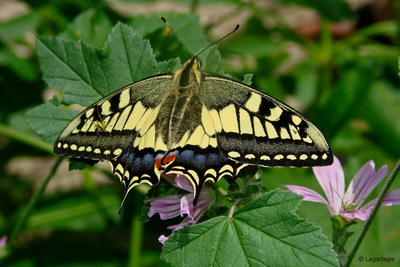 Image from object titled Swallotail – butterfly