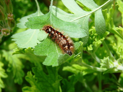 Image from object titled Brown-tail - catterpillar