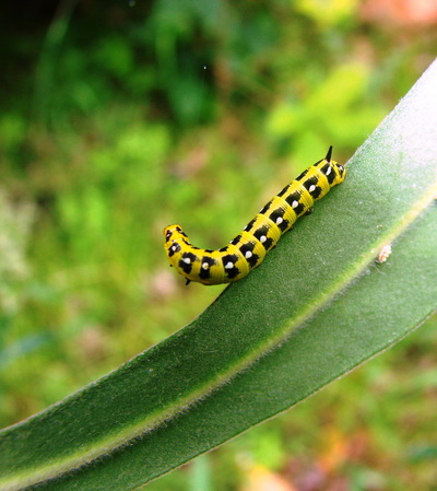 Image from object titled Spurge Hawk-catterpillar