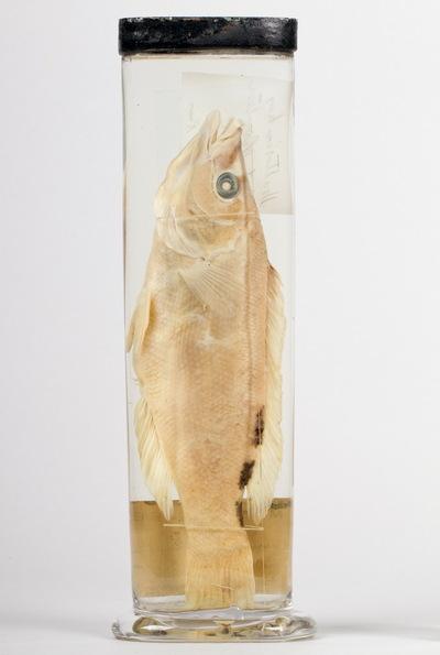 Exemplar of Labrus mixtus Linnaeus, 1758 (Actinopterygii, Labridae), Cuckoo wrasse. Fish Collection of the Museu Nacional de História Natural e da Ciência, Lisbon, Portugal (MB06-004723).