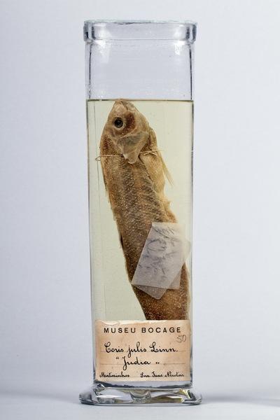 Exemplar of Coris julis (Linnaeus, 1758) (Actinopterygii, Labridae), Mediterranean rainbow wrasse. Fish Collection of the Museu Nacional de História Natural e da Ciência, Lisbon, Portugal (MB06-004772).