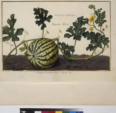Cod. Min. 53, vol. 2, fol. 58r: Florilegium of Prince Eugene of Savoy: Water melon