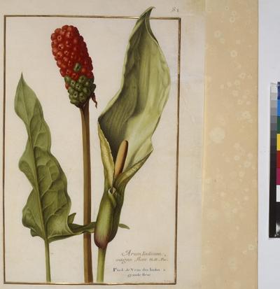 Cod. Min. 53, vol. 2, fol. 81r: Florilegium of Prince Eugene of Savoy: Arum indicum – arum