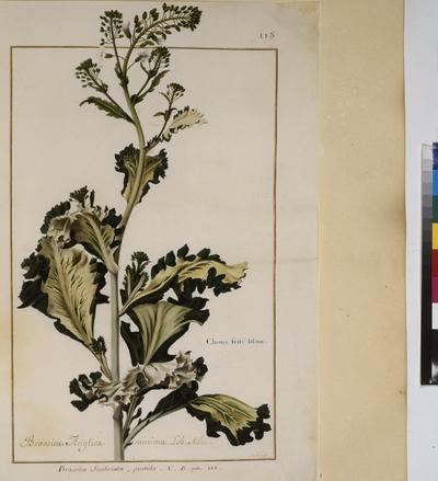 Cod. Min. 53, vol. 3, fol. 118r: Florilegium of Prince Eugene of Savoy: Cabbage