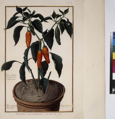 Cod. Min. 53, vol. 3, fol. 144r: Florilegium of Prince Eugene of Savoy: Piper indicum – pepper