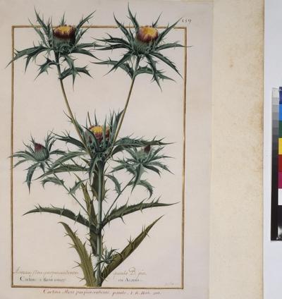 Cod. Min. 53, vol. 4, fol. 159r: Florilegium of Prince Eugene of Savoy: Carlina – carline thistle
