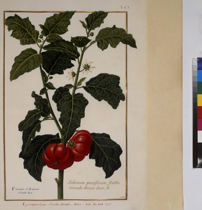 Cod. min. 53, vol. 7, fol. 345r: Florilegium of Prince Eugene of Savoy: Tomato