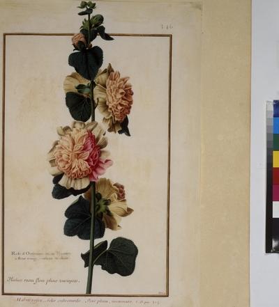 Cod. Min. 53, vol. 7, fol. 346r: Florilegium of Prince Eugene of Savoy: Malva rosea – pink malva