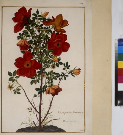 Cod. Min. 53, vol. 9, fol. 416r: Florilegium of Prince Eugene of Savoy: Rosa punicea cornuti – rose