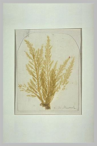 album ; herbier ; Planche d'herbier