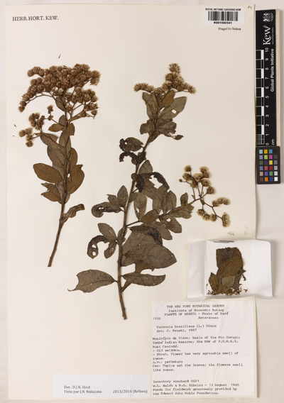 Image from object titled Vernonia brasiliana (L.) Druce