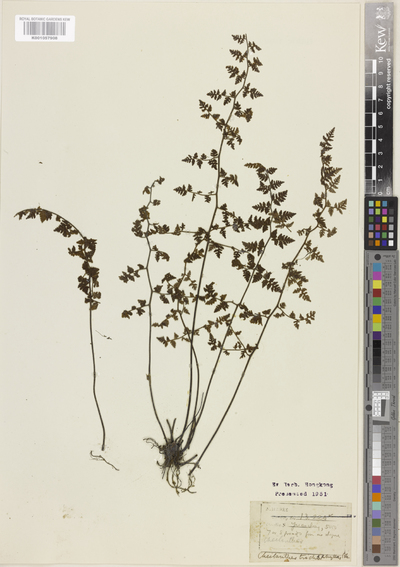 Image from object titled Cheilanthes trichophylla Baker