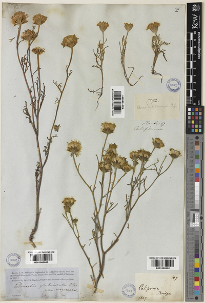 Image from object titled Chaenactis glabriuscula DC.