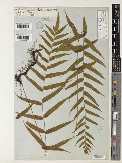 Image from object titled Polypodium argutum Wall.