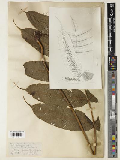 Image from object titled Arthromeris wardii (C.B. Clarke) Ching