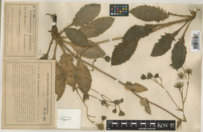 Image from object titled Hieracium sonchoides Arv. Touv. subsp. acalephoides (Arv.-Touv. & Gaut.)Zahn