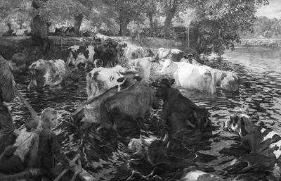 Koeien doortrekken de Leie