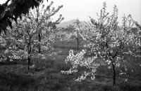 Image from object titled Gottenheim: Blütenhain bei Gottenheim, Hintergrund Kaiserstuhl