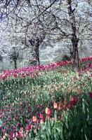 Image from object titled Mainau, Insel Mainau: Tulpenblüte und blühende Kirschbäume
