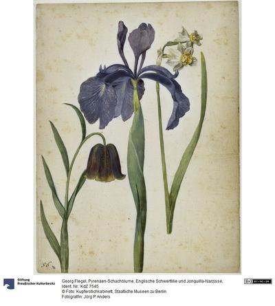 Pyrenäen-Schachblume, Englische Schwertlilie und Jonquilla-Narzisse