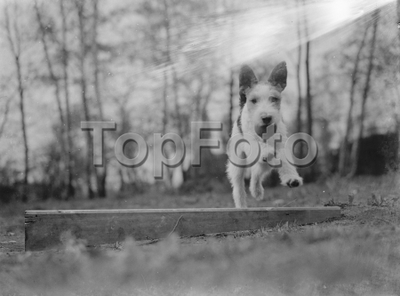 Image from object titled Mr Topham 's dog Tony . 1939