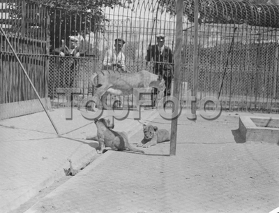Image from object titled Sailors zoo at Whale Island has three lion cubs . First pictures . These pictures , the first ever made , were taken at the world ' s only navel zoo , the Sailors Zoo on Whale Island ( HMS Excellent ) at Portsmouth . Th ezoo , which has a fine collection of animals and birds from all parts of the world , is stocked entirely by officers and men of the Royal Navy . Animals picked up by the sailors on the many voyages and originally intended as pets , very often end their days in the zoo . Photo shows , ' Lola ' the lioness of the Sailors Zoo at Whale Island , with her three recently born clubs . 8 July 1936 *** Local Caption ***